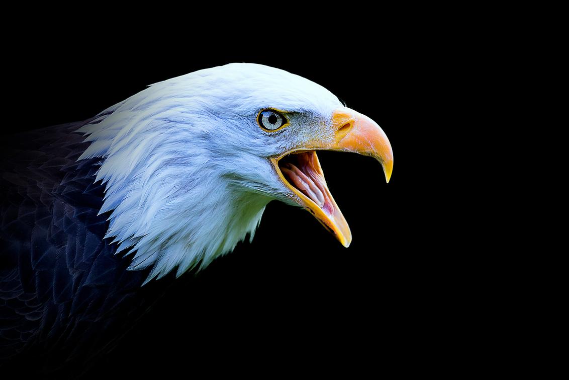 Amerikaanse Zeearend - Uit mijn serie - Animals in Darkness - de Amerikaanse Zeearend! - foto door daveenrenee op 10-11-2018 - deze foto bevat: dierentuin, dieren, zeearend, roofvogel, wildlife