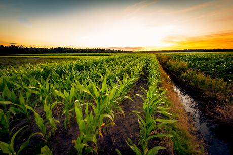 maïs met zonsondergang
