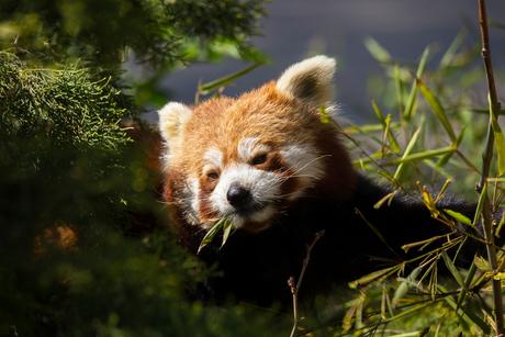 rode panda (kleine)