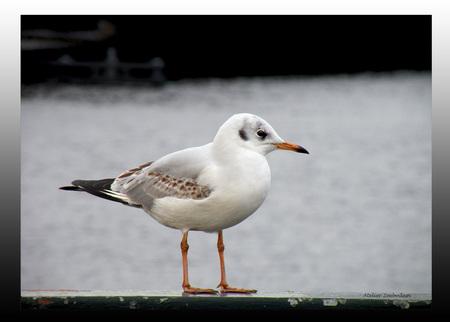 Even uitrusten.... - De zeemeeuw zat in Amsterdam op een hekje aan de waterkant. - foto door AtelierZeebodem op 22-05-2011 - deze foto bevat: zeemeeuw