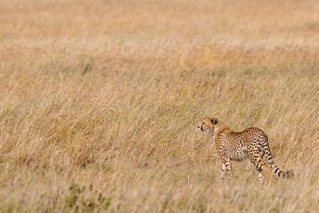 Cheeta in Serengeti