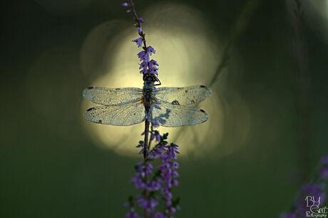 heidelibel in het eerste zonlicht