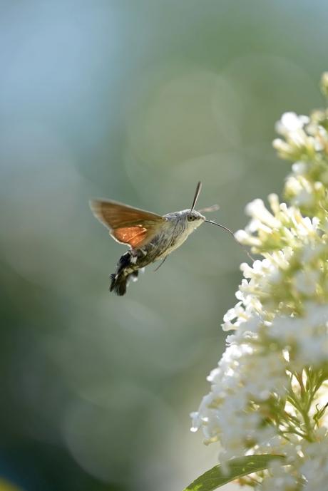 kolibrievlinder foto genomen op vakantie