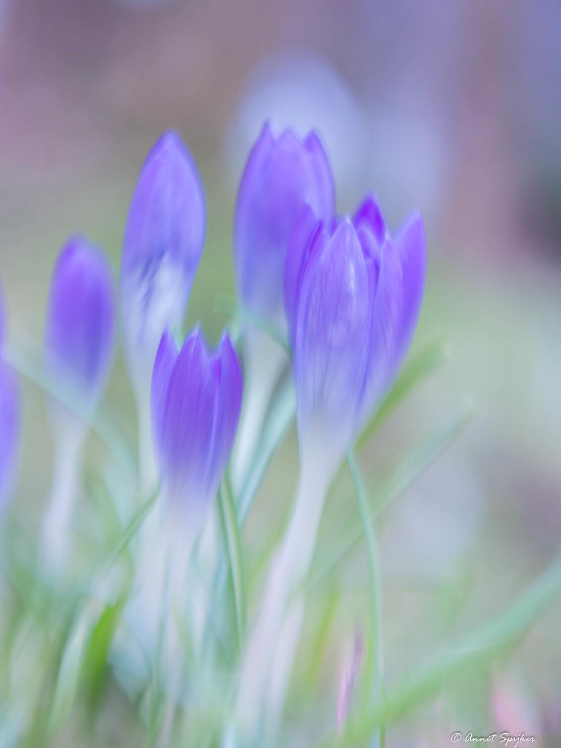 the blues - geschilderd met de camera. - foto door Annet1_zoom op 27-02-2017 - deze foto bevat: blauw, bloem, soft, krokus
