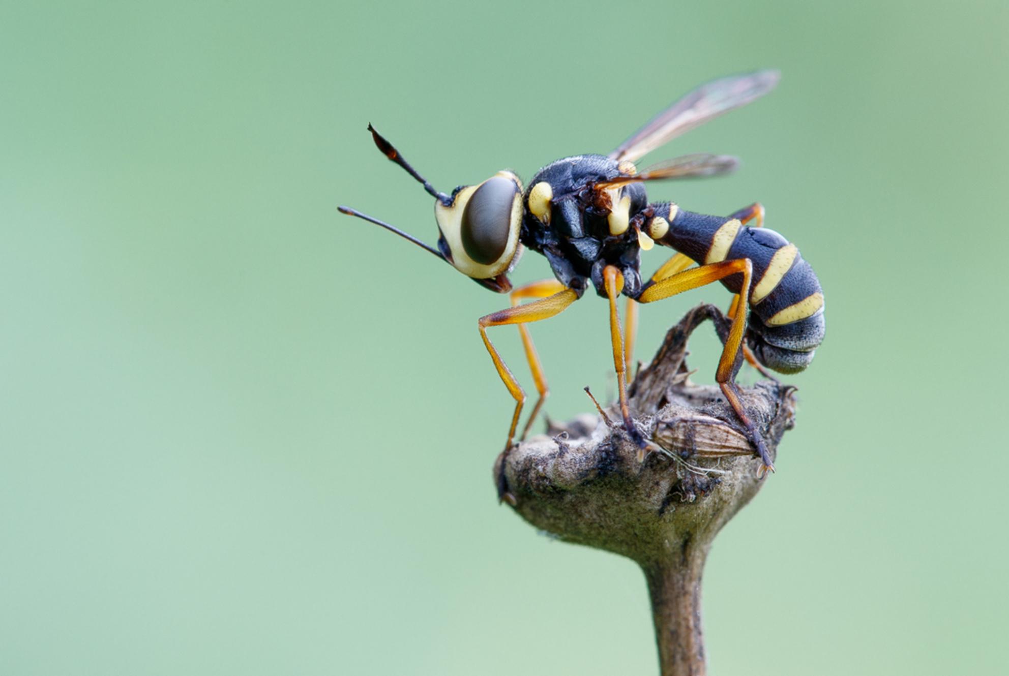 Slanke blaaskop - Conops scutellatus - Slanke blaaskop - Conops scutellatus - foto door rwillemsen op 21-08-2017 - deze foto bevat: macro, natuur, vlieg, geel, zwart, dieren, zomer, insect, dier, canon, nederland, europa, natuurfotografie, macrofotografie, imago, dierfotografie, canon eos 7d mark ii, insecta, canon ef 100mm f/2.8 l macro is usm, vlieg geel zwart, conops scutellatus, thick-headed fly, slanke blaaskop