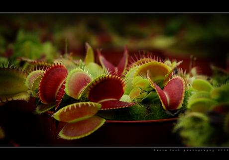 Dionaea Muscipula @ Carniflora