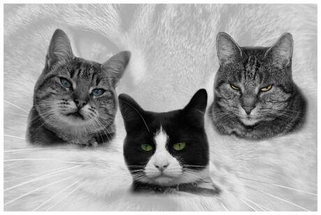 De 3 katten van een collega