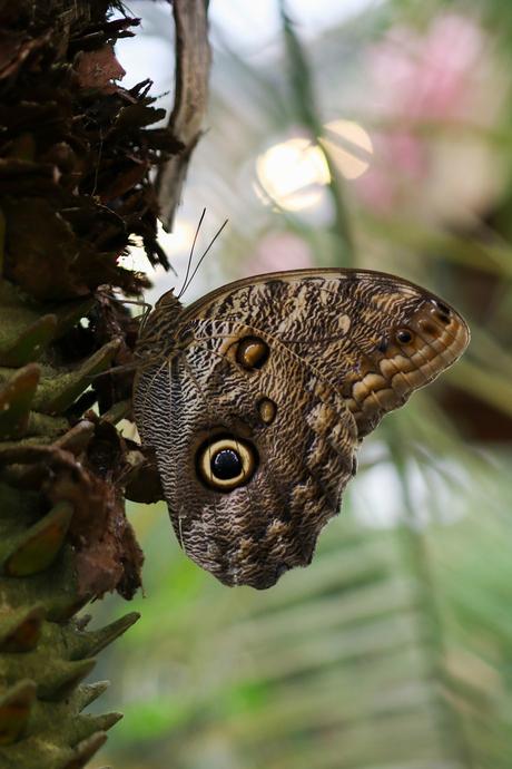 Uilvlinder (Caligo eurilochus