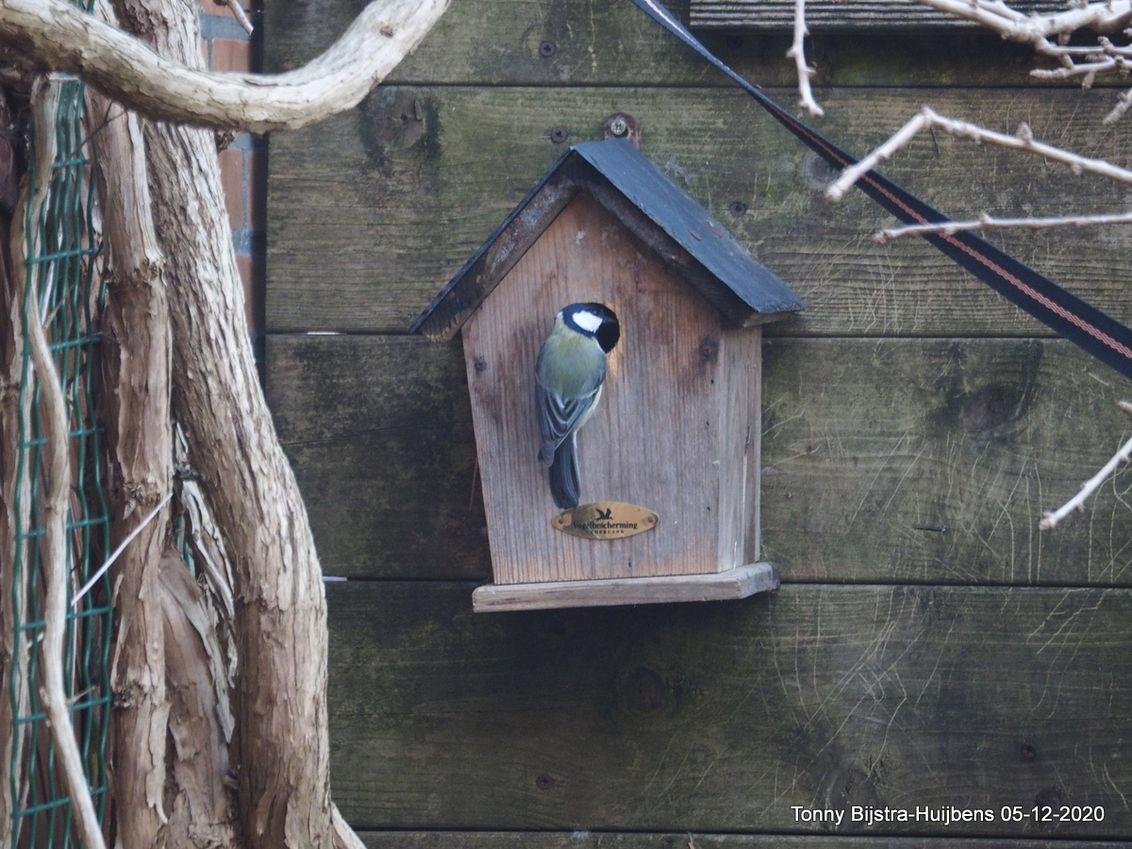woninginspectie - het meesje kwam zijn/haar vogelhuisje inspecteren. het huisje hangt er al een aantal jaren en is vanaf het voorjaar weer goed verborgen door de dan u - foto door Tonny1946 op 06-12-2020 - deze foto bevat: struik, herfst, nieuwegein, achtertuin, meesje, schutting, vogelhuisje, december 2020
