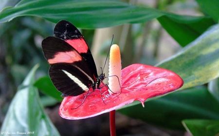 Heliconius Melpomene Rosina.. - De Heliconius Melpomene ( Rosina ) vliegt van Mexico tot aan Brazilië. Er zijn tientallen ondersoorten bekend. Ook van elke individuele ondersoort ko - foto door Redfox16 op 11-03-2018 - deze foto bevat: macro, vlinder, dieren, vlindertuin, jvbfotografie.nl, vlindersadvliet