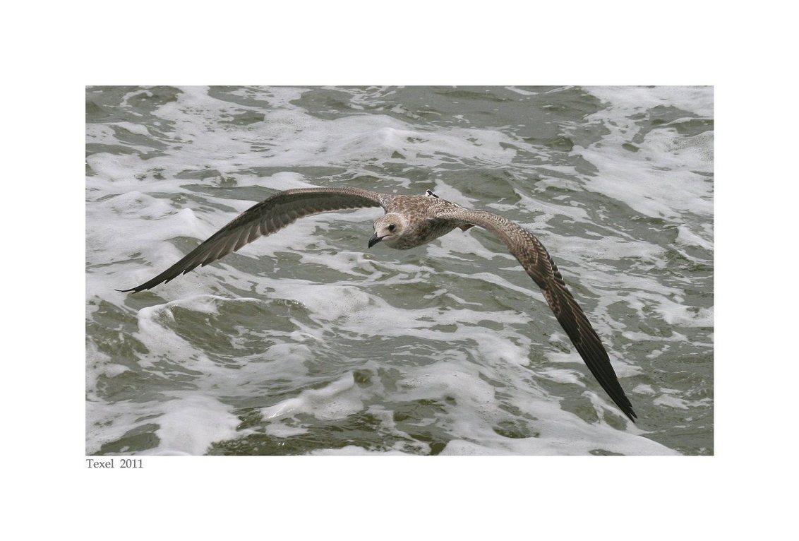 zeemeeuw Texel - had nooit eerder vogels gefotografeerd, leuk om te doen... - foto door loesje1964 op 31-07-2011 - deze foto bevat: water, vogels, zeemeeuw, texel