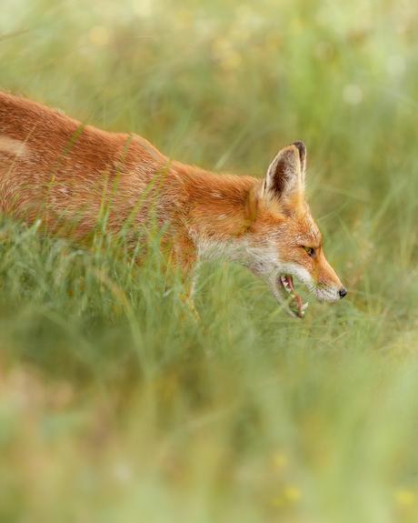 bjornvandberg fox