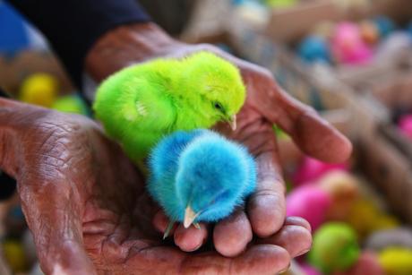 Kleurrijke kuikens
