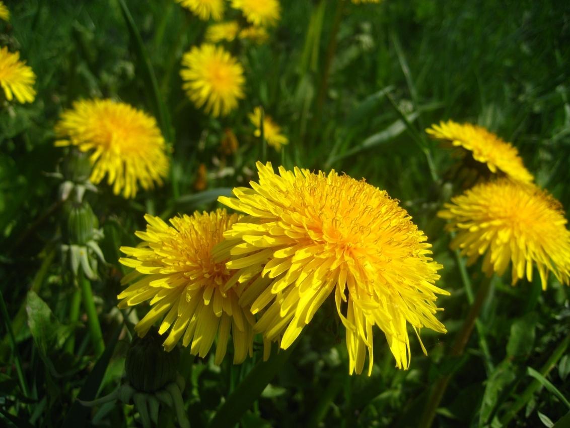 paardebloem - paardebloemen. In mijn gazon vind ik het maat niks, maar op  vakantie een wei vol is leuk om te zien. - foto door herimo op 02-05-2012 - deze foto bevat: geel, paardebloem