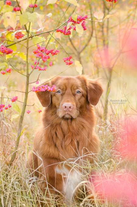 Pretty Pink - Joy, Nova Scotia Duck Tolling Retriever - foto door ShannonRoeksPhotography op 07-01-2016 - deze foto bevat: roze, pink, hond, dog, limburg, joy, retriever, brunssum, toller, heerlen, brunssummerheide, nova scotia duck tolling retriever, nova scotia, toller retriever, tolling retriever, nsdtr