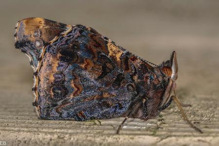 """Atalanta - Atalanta vlinder, die ik vandaag spotte in de schuur, maar hij sliep nog..... Bedankt voor jullie reacties en waardering bij mijn vorige foto """" Wild - foto door brohet op 05-03-2021"""
