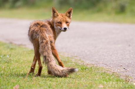 Bekende vos?