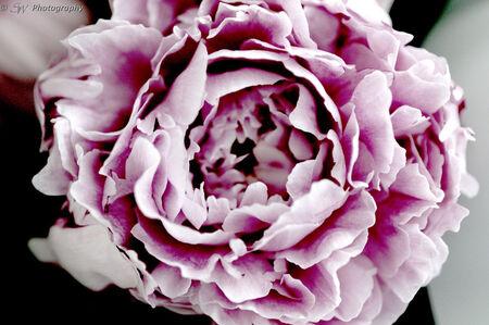 Een Pioenroos - Een close up van een pioenroos! - foto door Steef29 op 28-06-2015 - deze foto bevat: roze, paars, zon, bloem, tuin, tegenlicht, dof