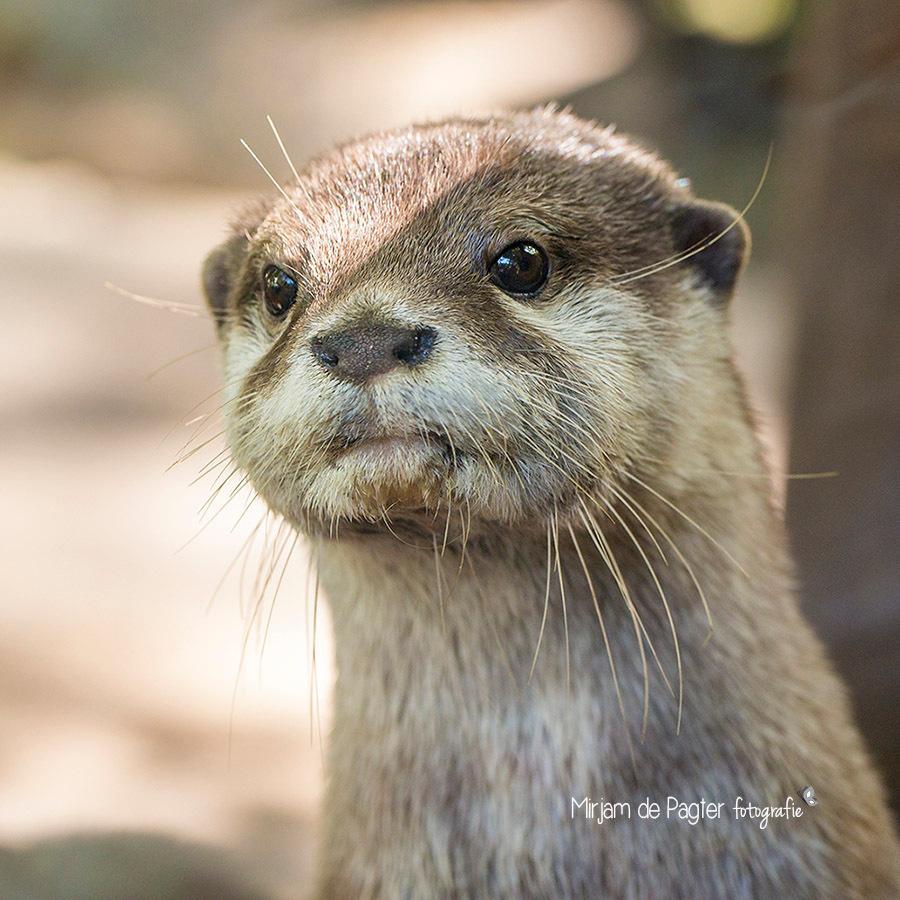 Kiekeboe! - Genomen tijdens 1 van onze vele bezoekjes aan Dierenpark Amersfoort afgelopen zomer. Mijn dochtertje krijgt geen genoeg van de otters dus ik heb er a - foto door MirjamdePagterFotografie op 04-01-2015 - deze foto bevat: dierentuin, dieren, dierenpark, otter, amersfoort