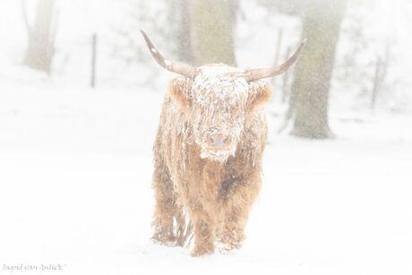 hooglander in de sneeuw