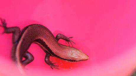 Roze hagedis