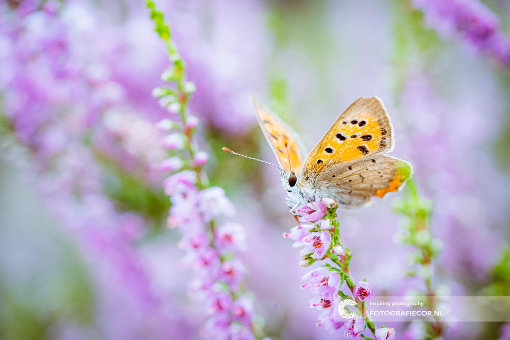 Kleine heidevlinder op een tak - Het heideblauwtje (Plebeius argus) is een vlinder die vooral op vochtige heide kan worden aangetroffen.  Het zijn kleine vlinders met een spanwijdt - foto door Fotografiecor op 25-12-2020 - deze foto bevat: roze, groen, paars, macro, natuur, vlinder, blauwtje, licht, oranje, herfst, tegenlicht, insect, vlindertuin, dof - Deze foto mag gebruikt worden in een Zoom.nl publicatie