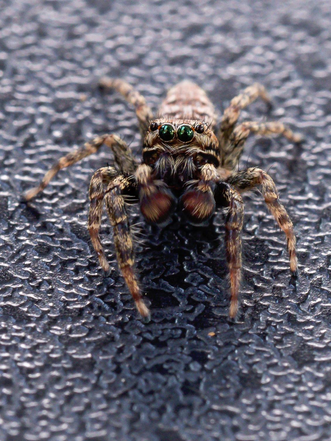 Springspin - Regelmatig kwam dit spinnetje op bezoek. Ik had graag wat meer scherpte en scherptediepte hierin gehad, maar het beestje was zo snel, waardoor het mo - foto door Tiem op 17-11-2020