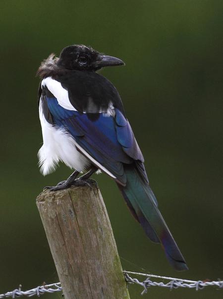 Paalzitten - Bij het verlaten van mijn fotolocatie zat deze ekster op een paal wat om zich heen te kijken, voor mij dus een prima  gelegenheid om er deze opname  - foto door jzfotografie op 02-10-2015 - deze foto bevat: groen, kleuren, wit, blauw, vogels, paal, zwart, dieren, ekster, prikkeldraad, achtergrond, snavel, egaal, verenkleed, paalzitten, Noord Holland, webdraden, oude niedorp