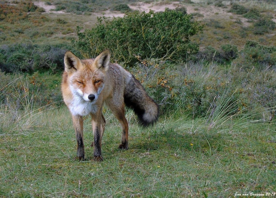 Can I trust you ... or not - Vossen kunnen je heel wantrouwend aan kijken. De vos stond me echt te observeren of hij me kon vertrouwen of niet maar wou toch wel even blijven pose - foto door Redfox16 op 19-04-2018 - deze foto bevat: natuur, dieren, vos, awd, wildlife