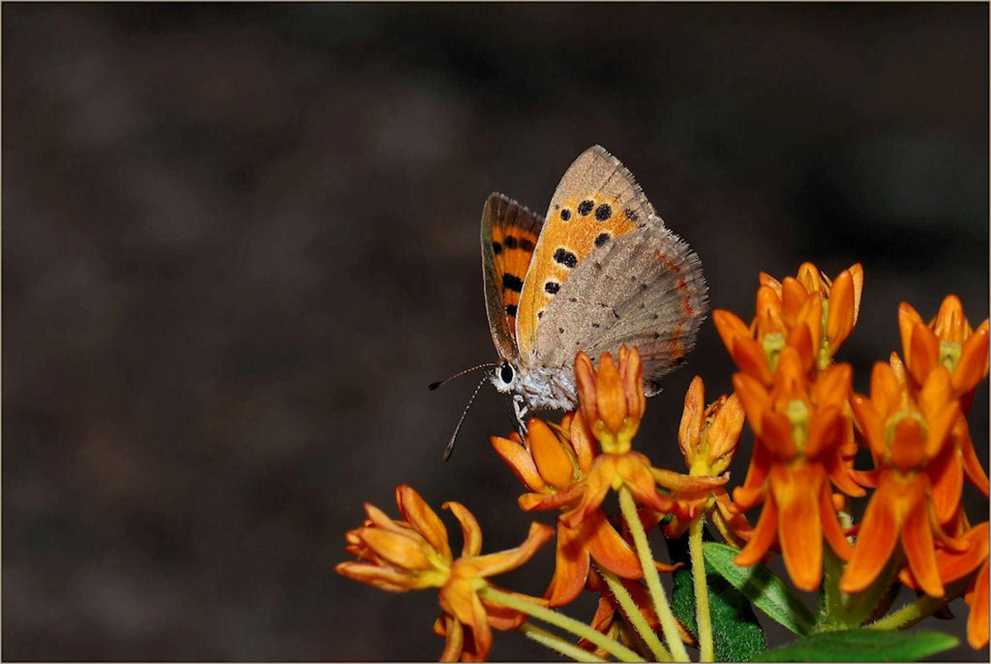De Kleine Vuurvlinder (Lycaena phlaeas). - De Kleine Vuurvlinder (Lycaena phlaeas).  De natuur maakt altijd overal uitzonderingen op, dus ook op de regel dat blauwtjes blauw zijn. Er is zelf - foto door Jacquelineimaging op 07-07-2009 - deze foto bevat: macro, vlinder, vuurvlinder, micro, insekt, closeup, nikond80, kleinevuurvlinder, nikon105mmvrmicrolens, Lycaenaphlaeas