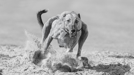 EYE to EYE - Oog in oog met een Greyhound op de renbaan. - foto door Mieke-Engelbos op 10-11-2020 - deze foto bevat: race, sport, actie, snelheid, sluitertijd, windhond, renbaan, finish, greyhounds