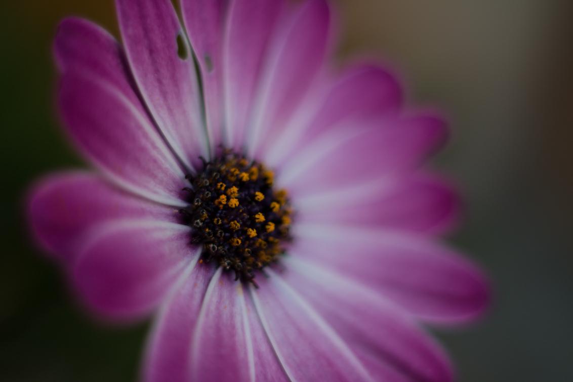 Spaanse Margriet - Prachtige spaanse margriet, gewoon in de tuin.  Laat je me weten wat je er van vindt?!  Bedankt vast en groetjes,  Arie de Waard - foto door ariedewaard op 26-06-2014 - deze foto bevat: roze, groen, paars, macro, zon, bloem, lente, natuur, geel, licht, oranje, tuin, zomer, margriet, spaans, tuinbloem, bokeh, spaanse margriet