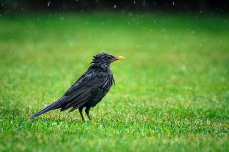 Merel in de regen