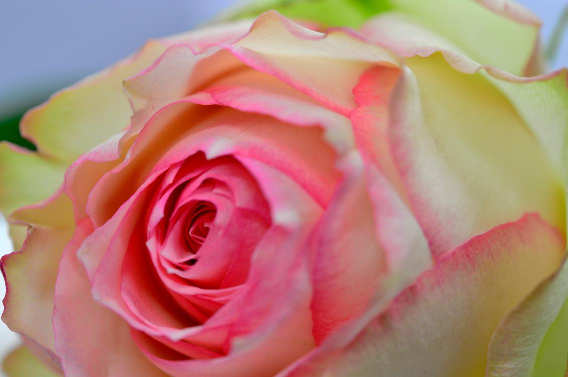 De roos - - - foto door Canard op 12-03-2016 - deze foto bevat: roos