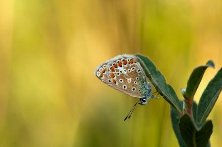 Icarusblauwtje - Vanavond heb ik dit blauwtje toch nog even kunnen vastleggen ondanks de wind. Iedereen bedankt voor jullie reacties. - foto door andrevanes op 13-08-2013 - deze foto bevat: macro, vlinder, blauwtje, icarusblauwtje, insect, andrevanes