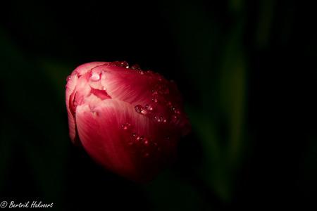Tulp - Tulp - foto door bertrikhakvoort op 30-01-2014 - deze foto bevat: tulp, druppels, voorjaar