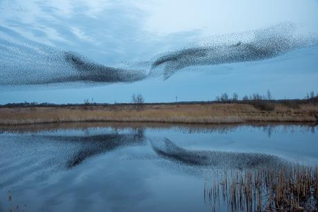 Dansende spreeuwenwolken
