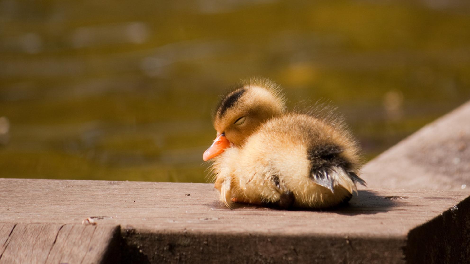 Jong eentje - Een jong eentje die net uit de vijver kwam. - foto door bernardfalkena op 25-05-2010 - deze foto bevat: klein, jong, kuikentje, eentje - Deze foto mag gebruikt worden in een Zoom.nl publicatie