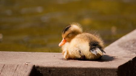 Jong eentje - Een jong eentje die net uit de vijver kwam. - foto door bernardfalkena op 25-05-2010 - deze foto bevat: klein, jong, kuikentje, eentje
