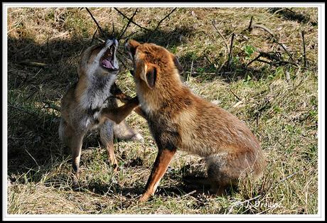 twee vechtende vossen