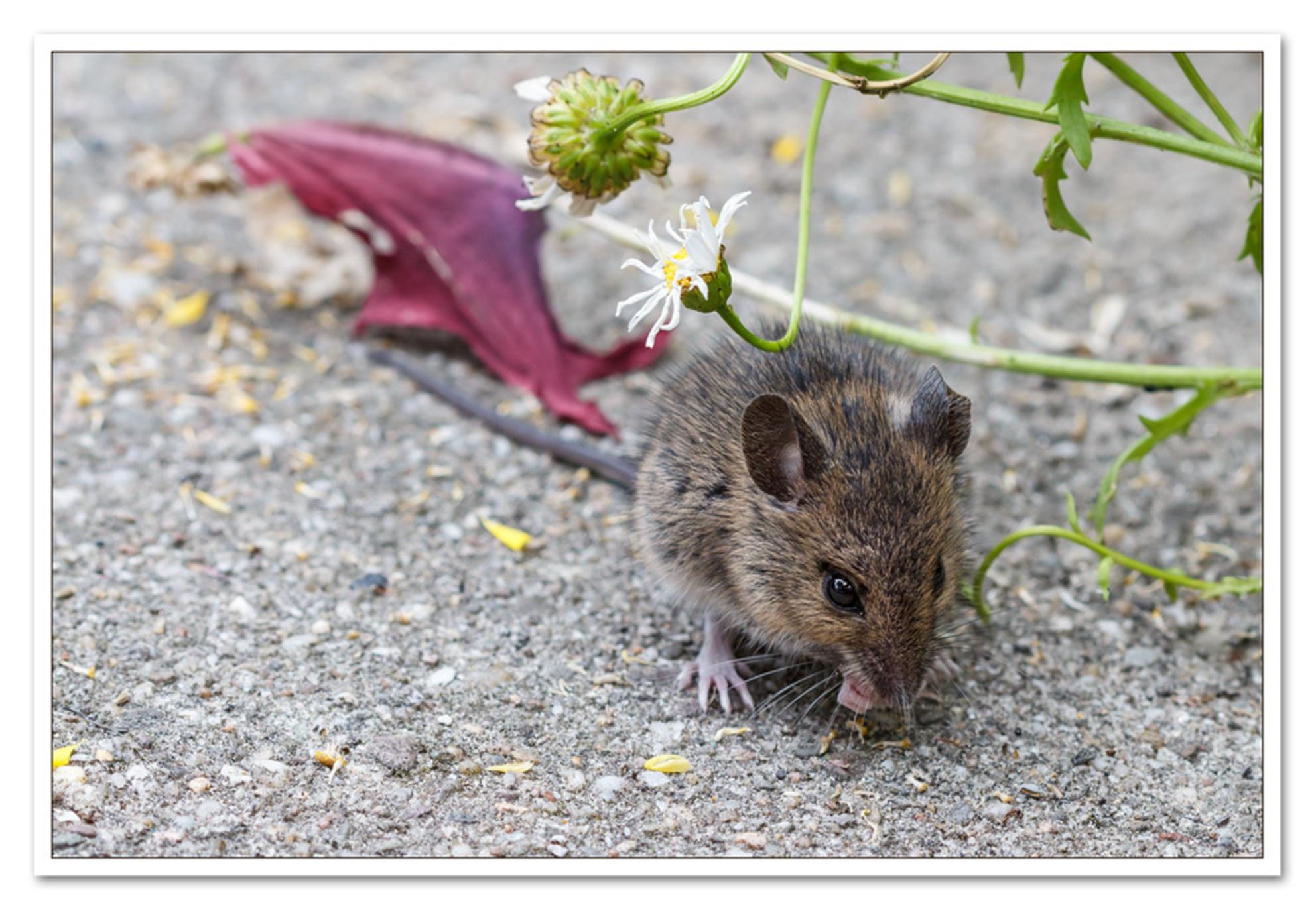 Wildlife - Wildlife in de tuin Dit muisje kwam ons opzoeken om van de bloemzaadjes te eten. Ik vind het een pracht beest(je).  groetjes, Margo - foto door MargoGer op 11-07-2013 - deze foto bevat: tuin, muis - Deze foto mag gebruikt worden in een Zoom.nl publicatie
