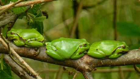 3 kleine (boom-)kikkertjes die zaten op......