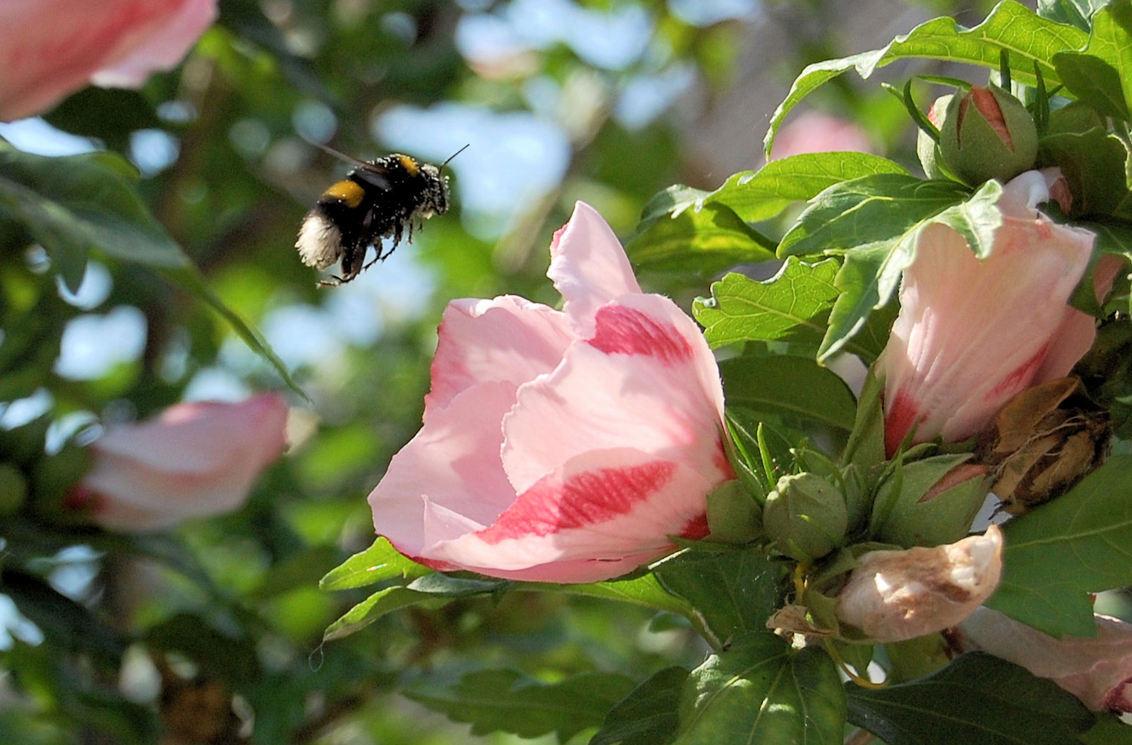 Bijen - Bij - foto door mickie op 03-08-2009 - deze foto bevat: bloem, natuur, bij