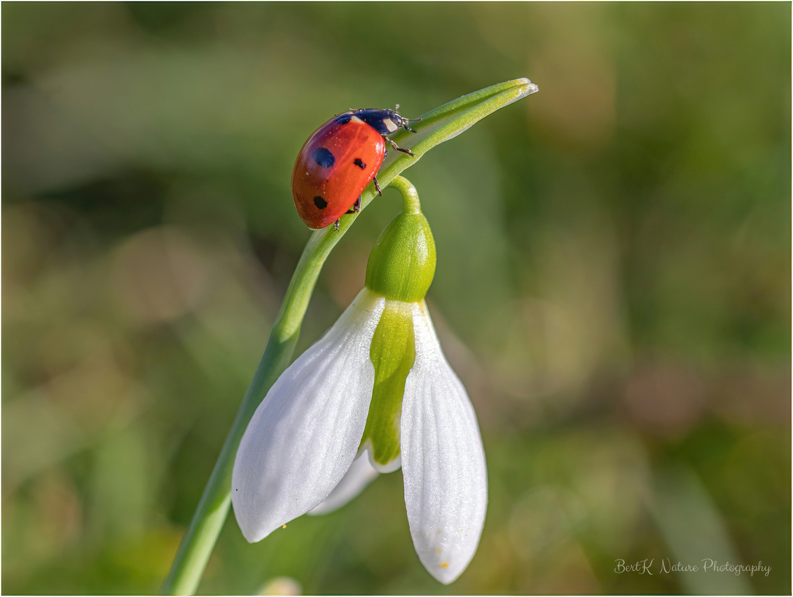 Spring... - - - foto door BertK52 op 01-03-2021 - deze foto bevat: macro, lente, lieveheersbeestje, nederland, sneeuwklokje