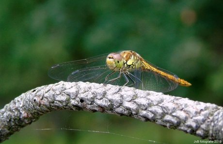 Bruinrode heidelibel*