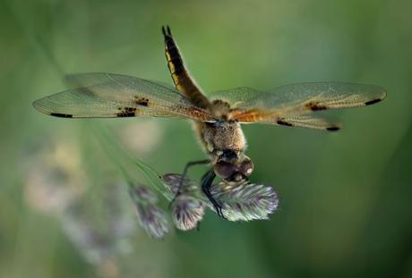 libelle, viervlek
