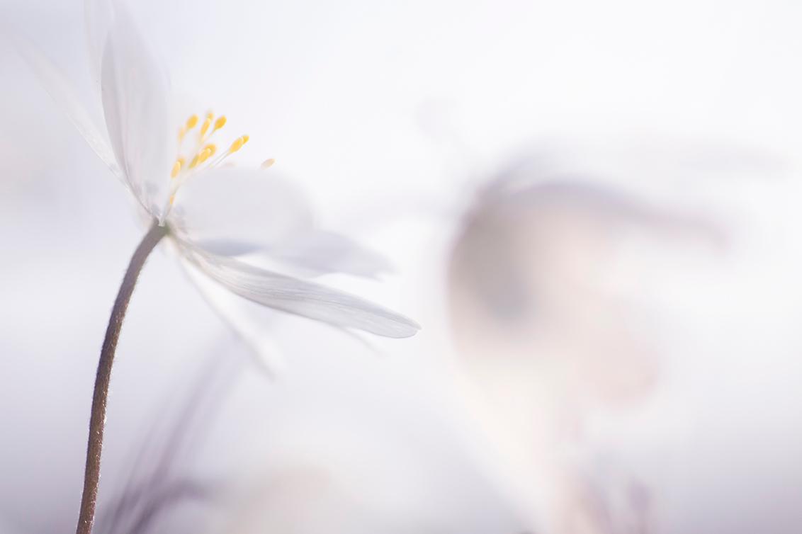 Fragile - Het blijft een mooi bloemetje om mee te spelen, de Bosanemoon. - foto door birgitte61 op 30-03-2020 - deze foto bevat: macro, wit, bloem, lente, natuur, licht, bosanemoon, dof