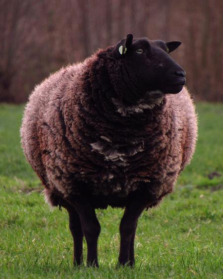 ECF03107-DACF-4EBA-989C-23054178F1D0 - Zwarte schaap - foto door AnnaMasur op 25-02-2021 - deze foto bevat: natuur, dieren, schaap, polder