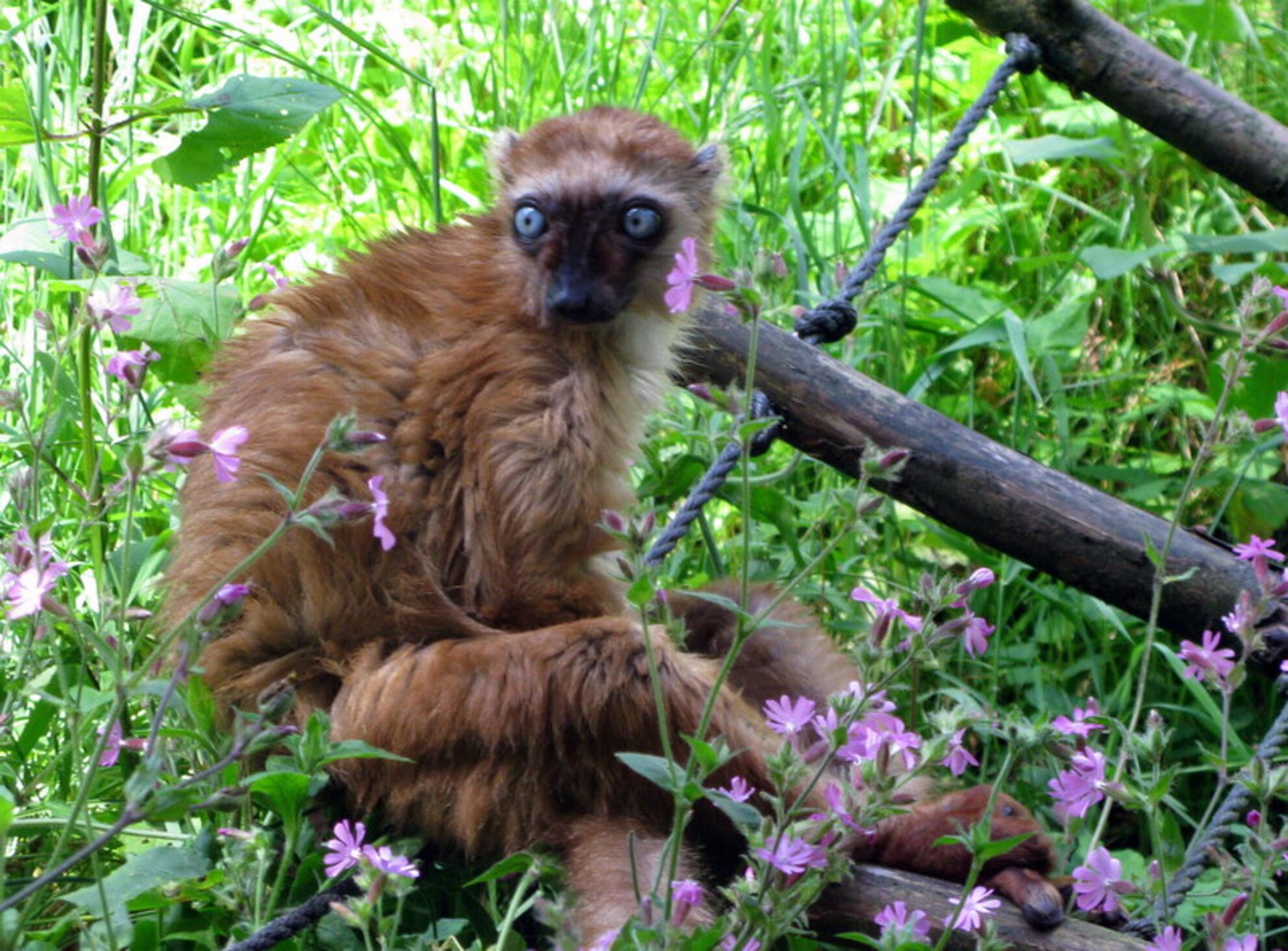 Rode Vari - Leefgebied Madagascar Bedreigde dierensoort - foto door sabine61 op 29-06-2014 - deze foto bevat: dierentuin, aap - Deze foto mag gebruikt worden in een Zoom.nl publicatie