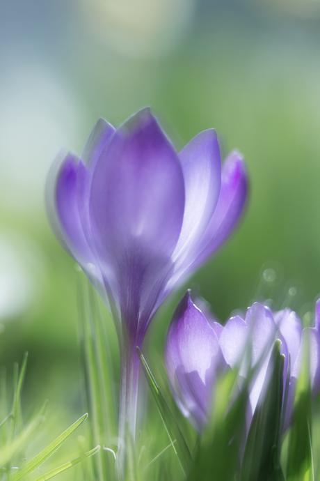 Krokus in lentezon.